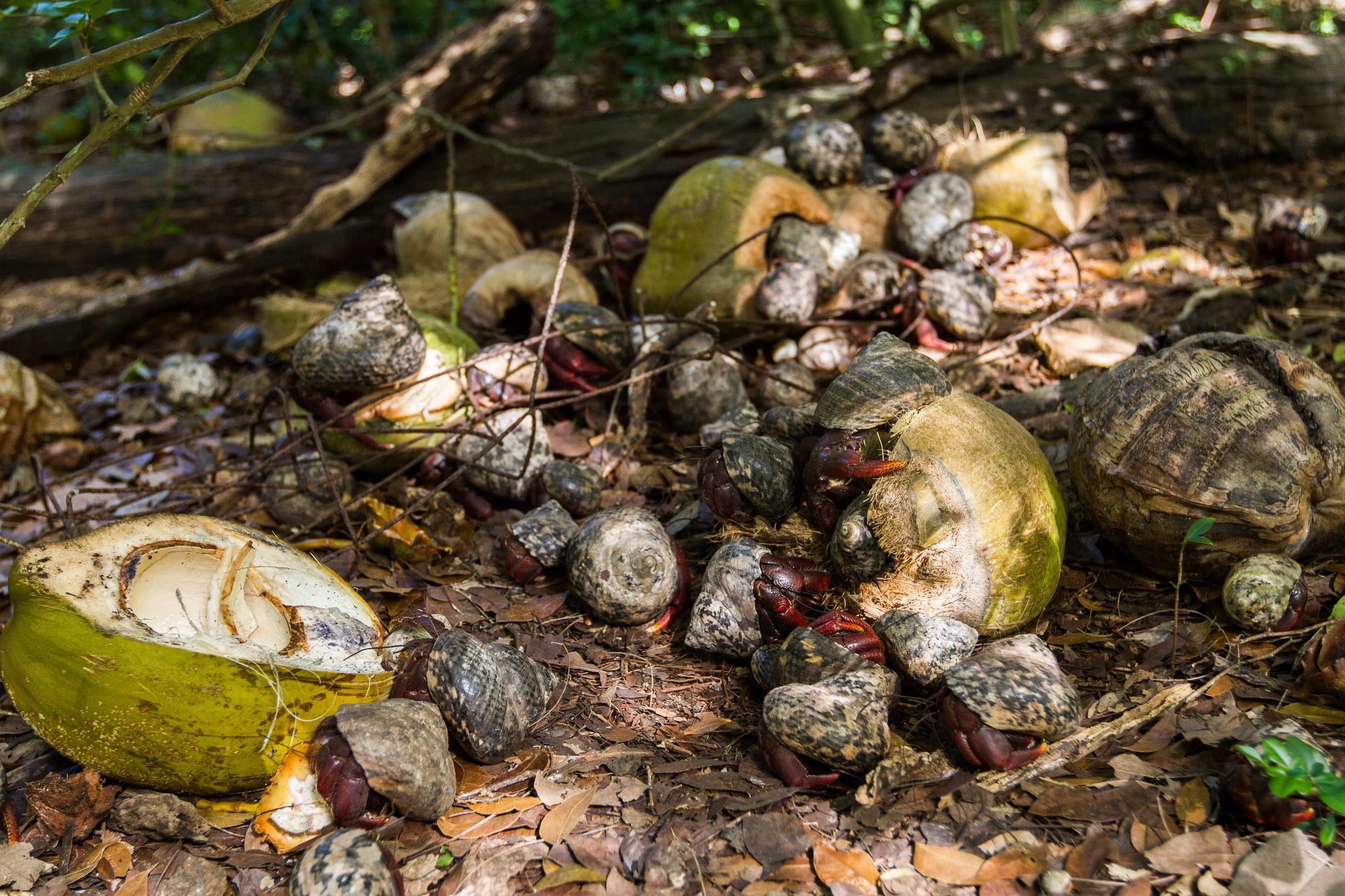 Island Conservation Hermit Crabs