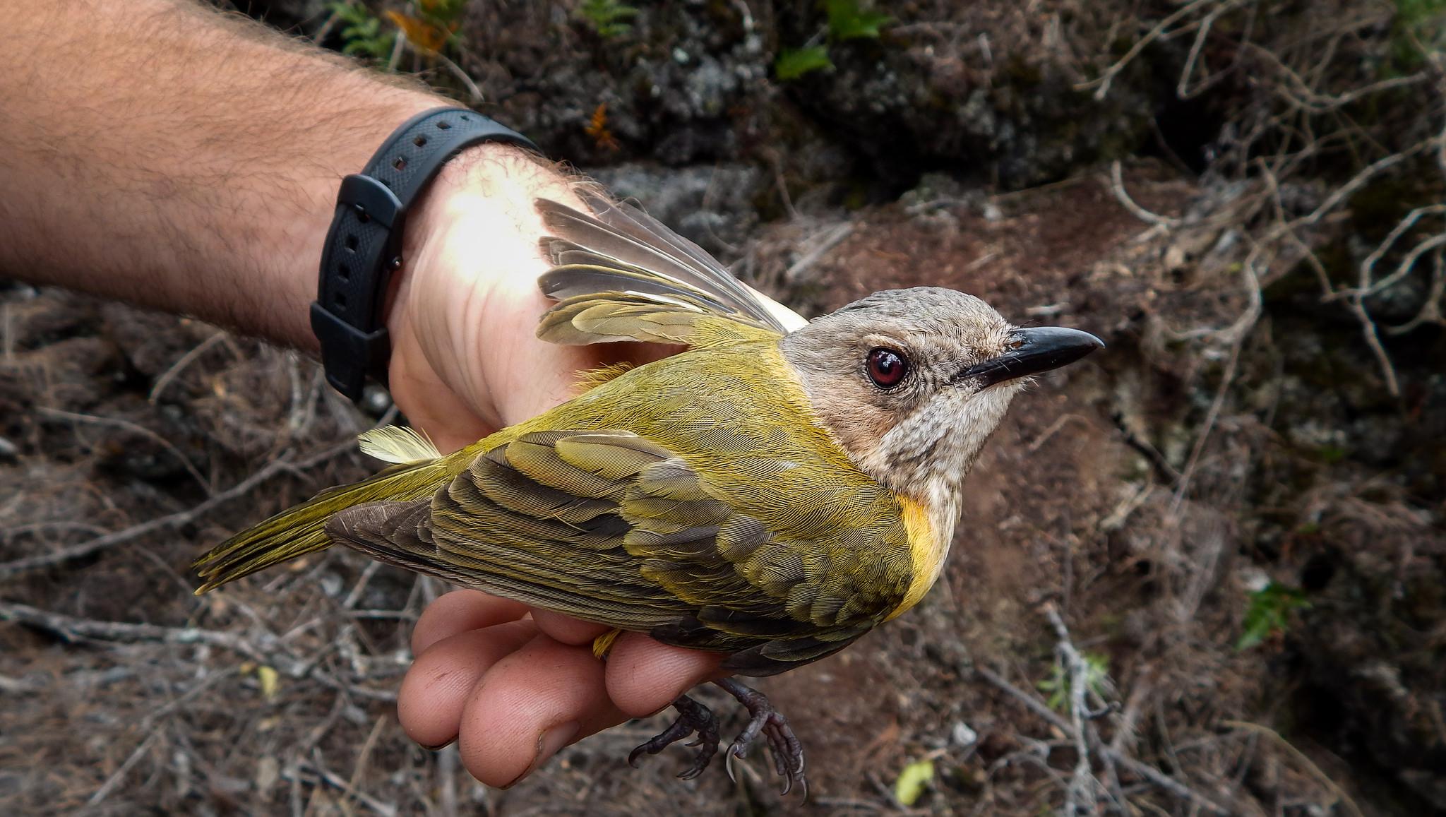 Island Conservation Tonga Bird Cranwell