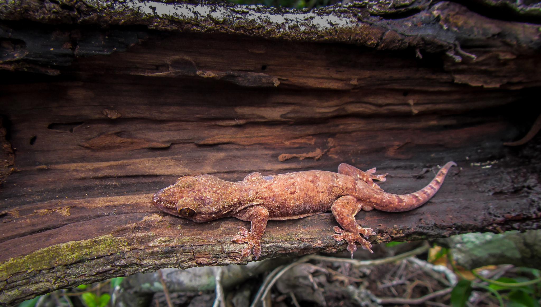 Island Conservation Tonga Skink