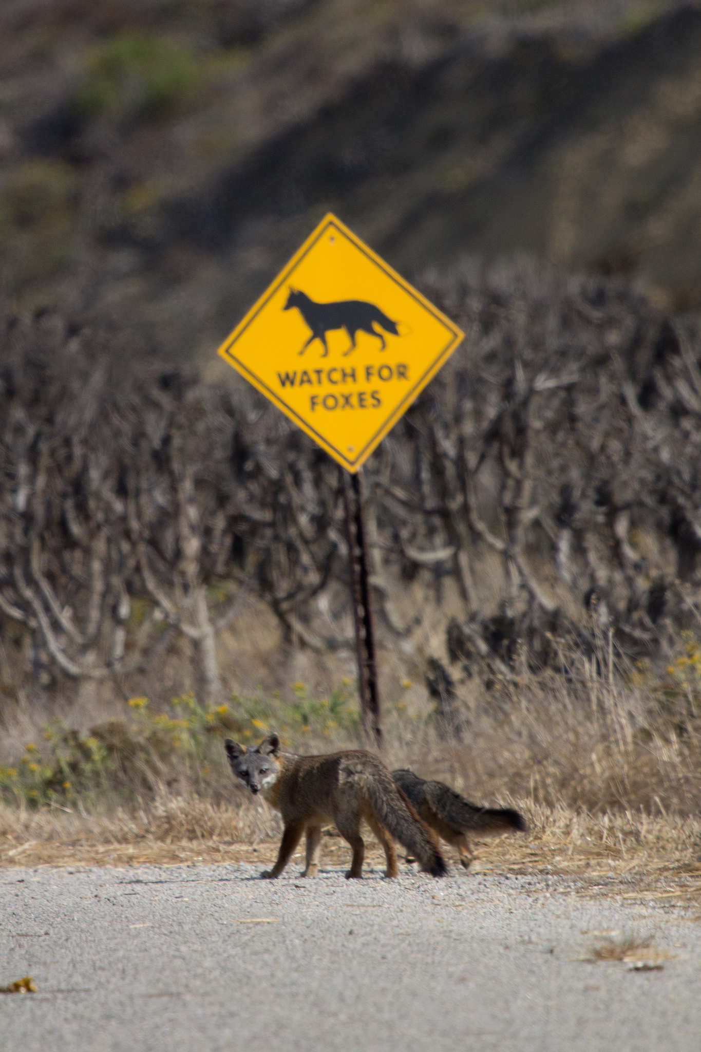 Island Conservation Fox Crossing