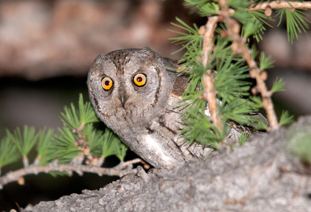 Island Conservation Scops Owl in Tree