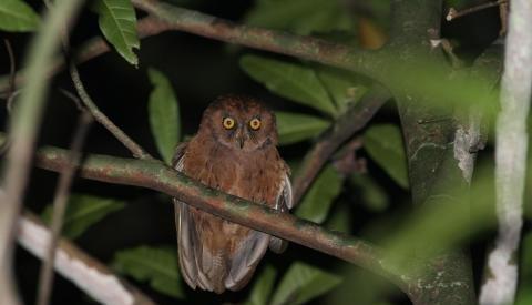 Island Conservation Scops Owl