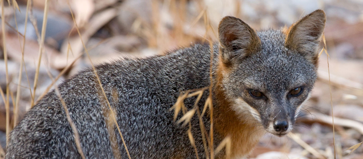 island conservation island fox