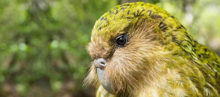 Island Conservation Kakapo Portrait