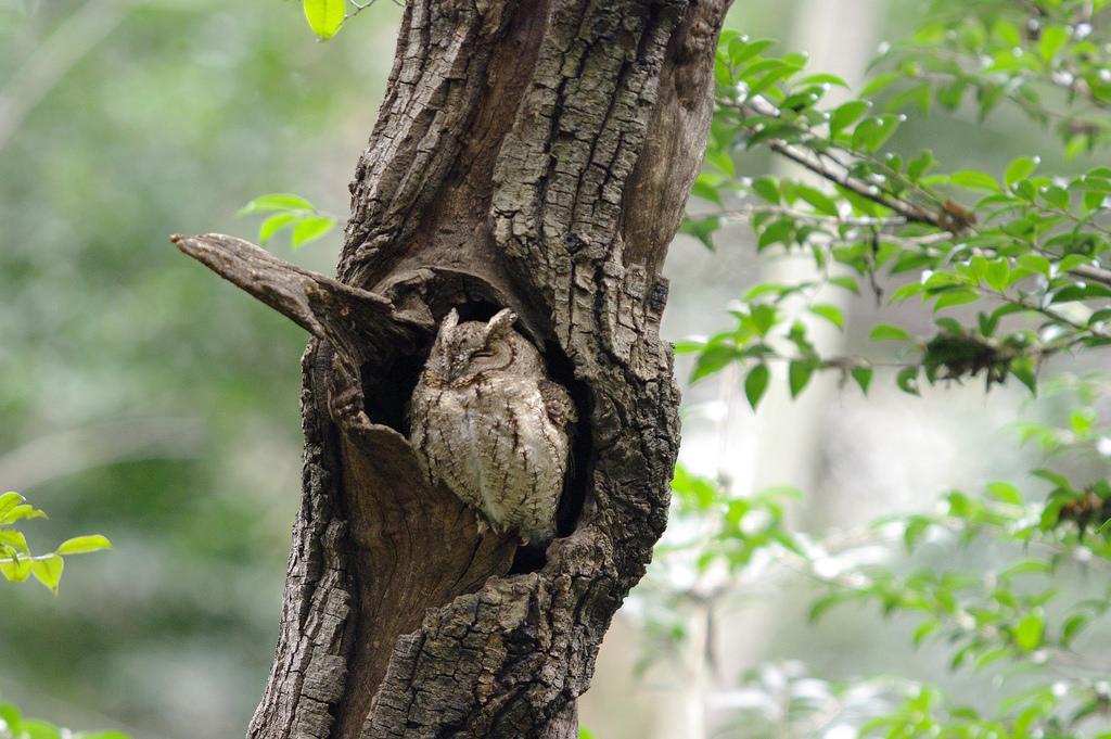 island conservation owl