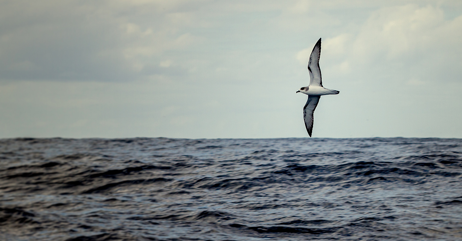 Island Conservation science petrel chile alejandro selkirk