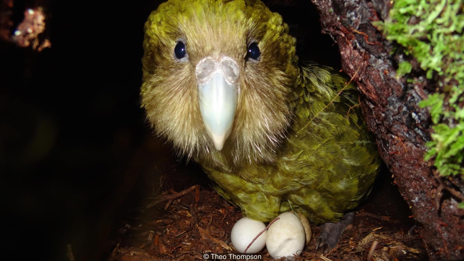 Tiny Island Conservation Kakapo Population Gets A Much Needed