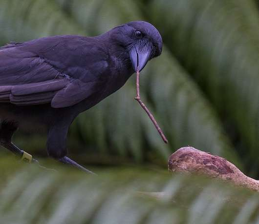 Island conservation science crow using tools