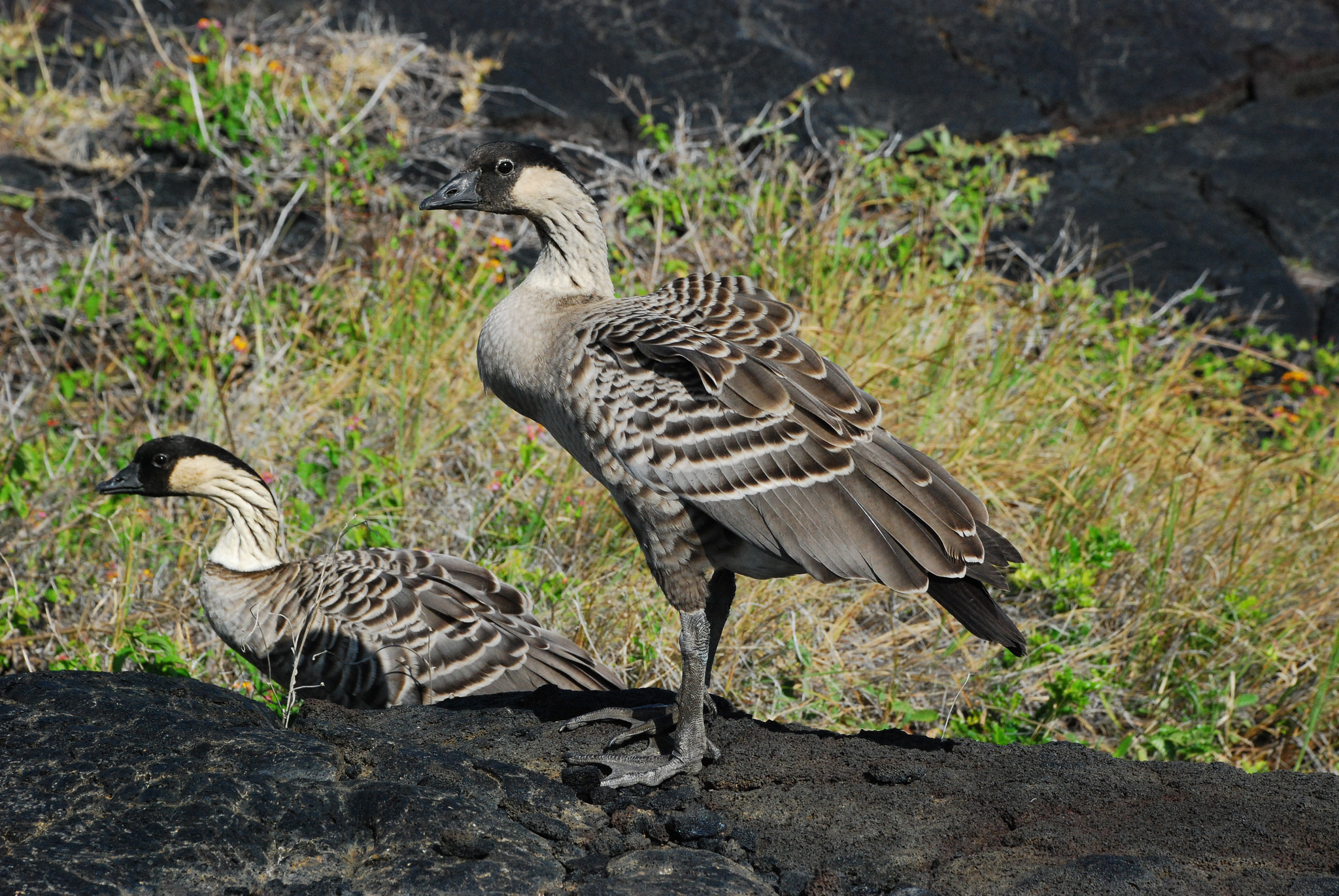 island conservation science hawaii nene