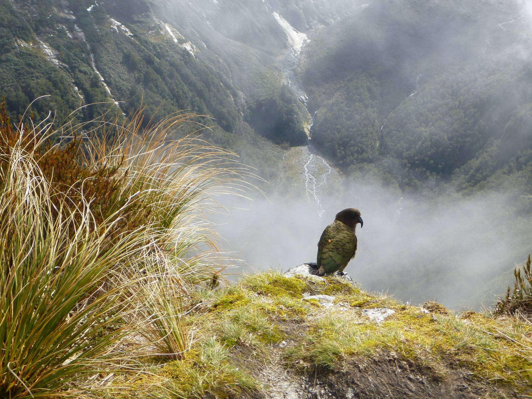 island conservation new zealand endemic kea alpine parrot