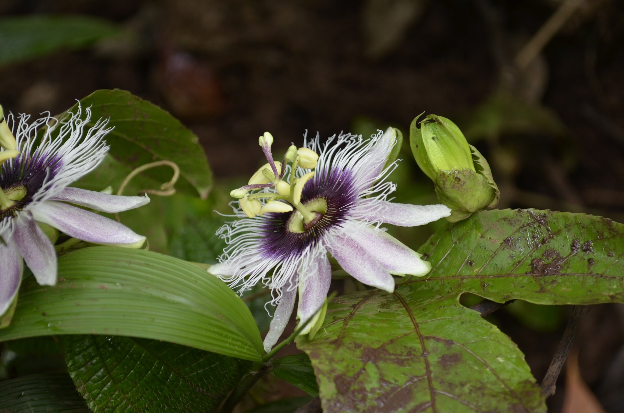 island conservation science passionfruit flower