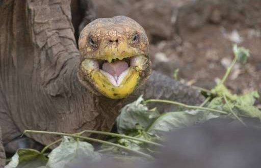 Island Conservation Diego the Galapagos Giant Tortoise