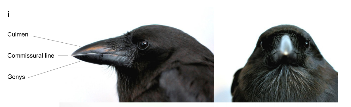 Island conservation hawaiian crow morphology beak