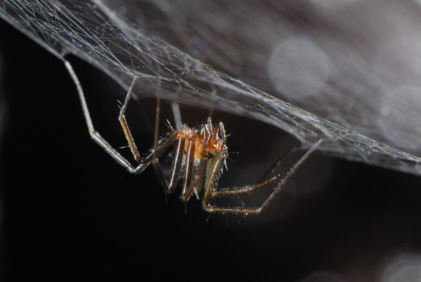 island conservation science azores spider