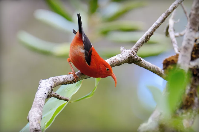island conservation science honeycreeper red