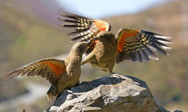 island conservation new zealand endemic parrot kea