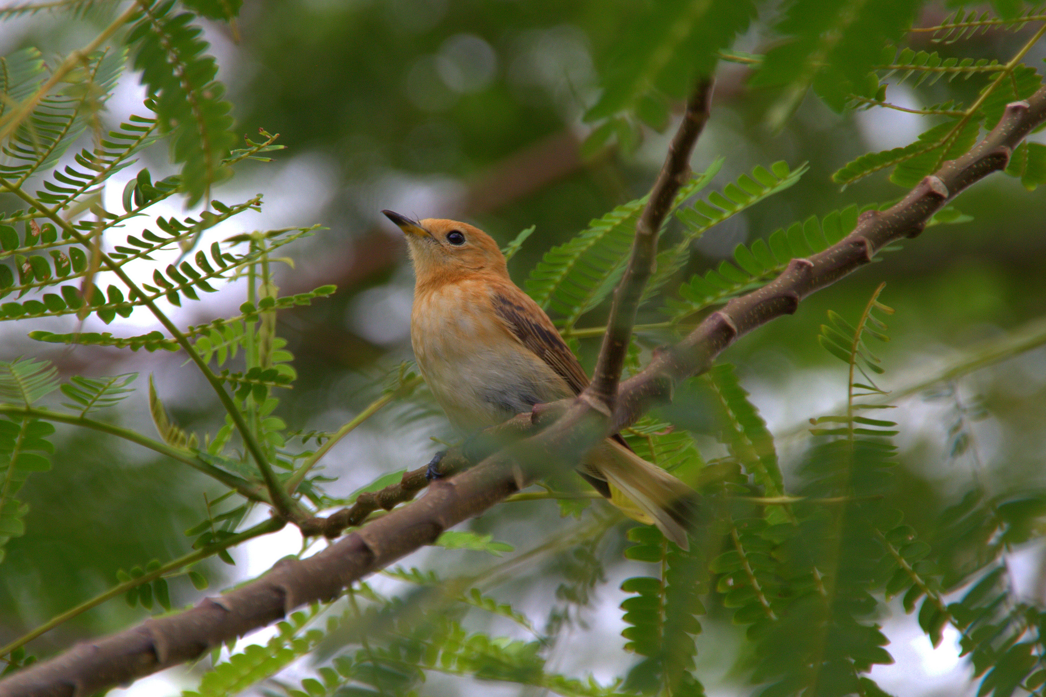 island conservation rarotonga flycatcher in tree
