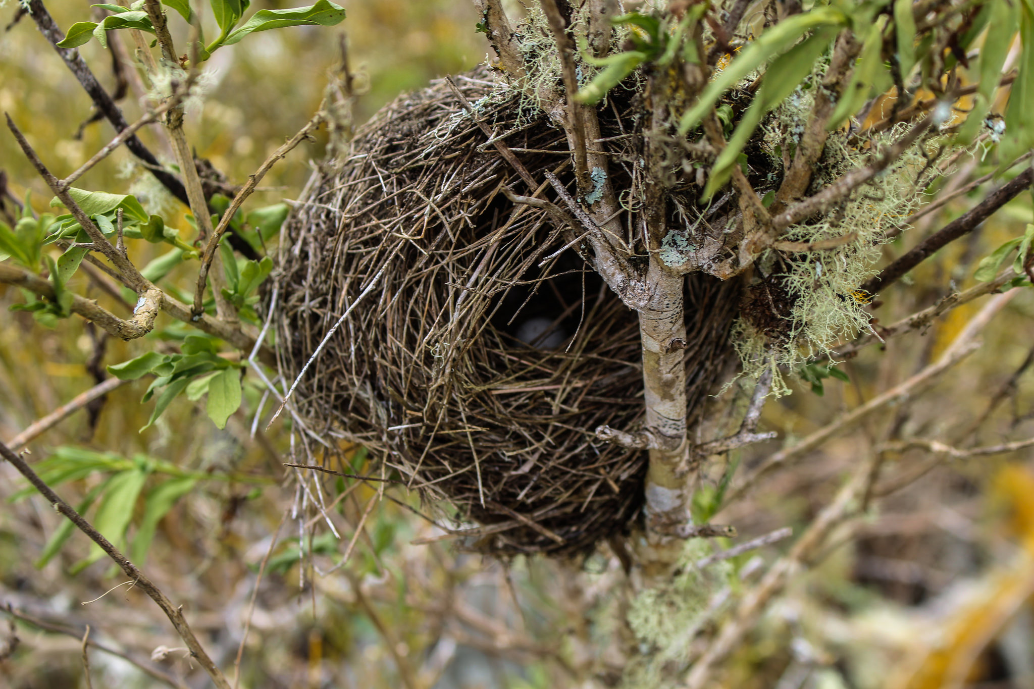 island conservation galapagos bird nest