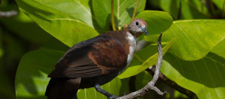 island conservation tenararo tutururu