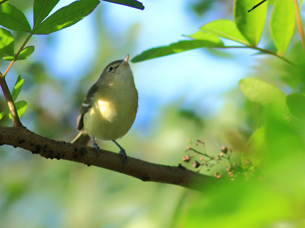 island conservation science bells vireo in tree