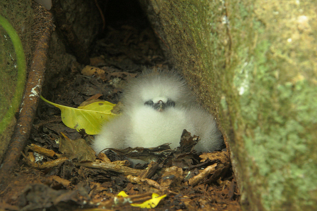 island conservation science red-tailed tropicbird chick