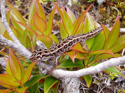 island conservation science new zealand native gecko