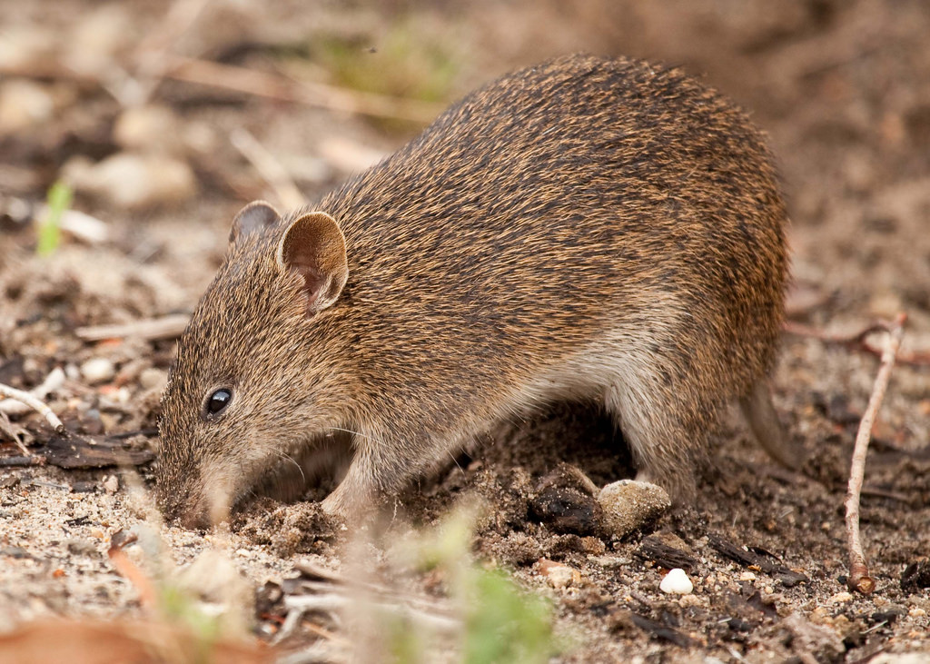 island conservation science kangaroo island southern brown bandicoot