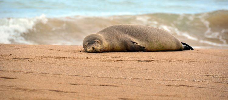 island conservation hawaiian monk seal on the sand