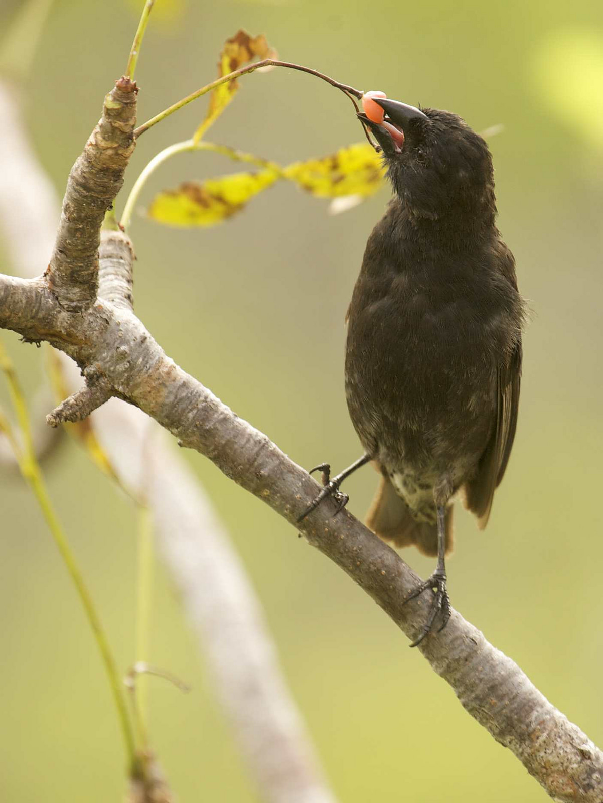 island conservation galapagos finch eating a berry