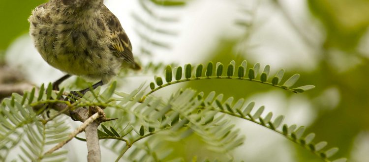 island conservation science darwins finches