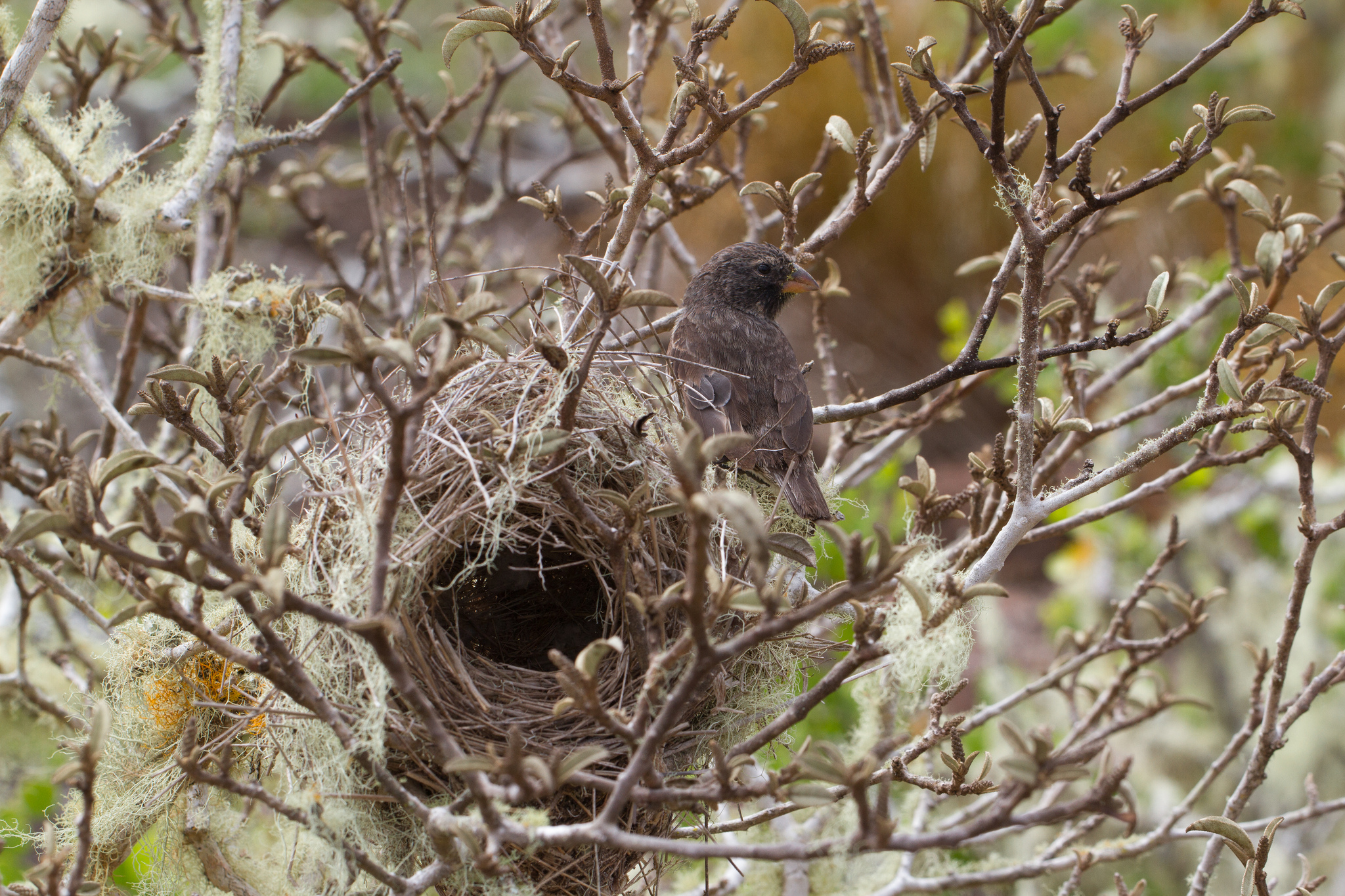 island conservation galapagos finch nest