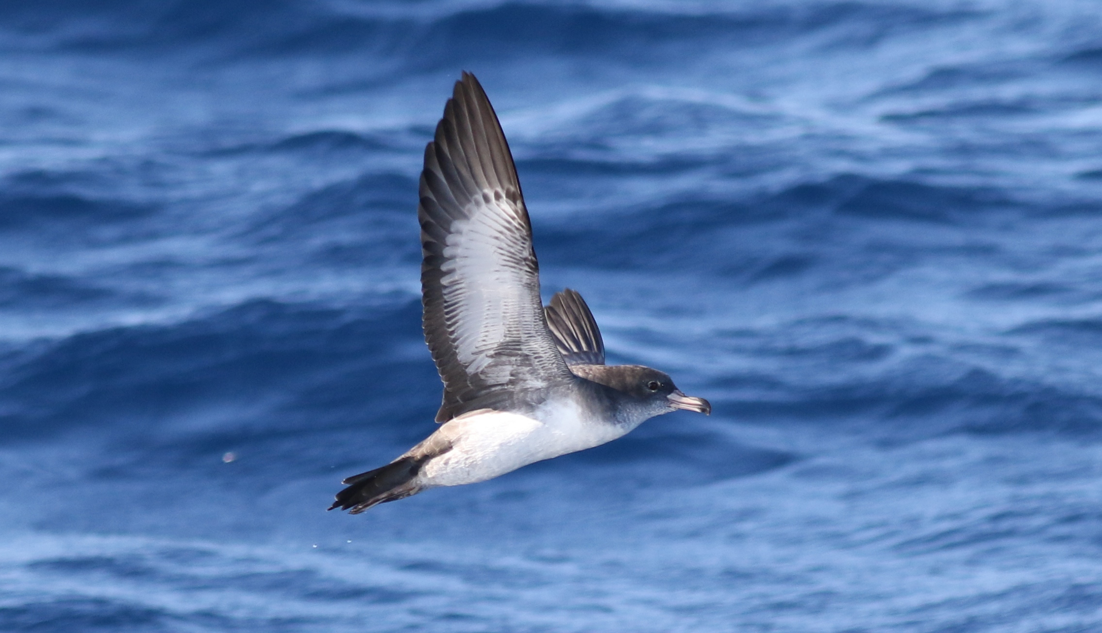 island conservation science pink-footed shearwater in flight