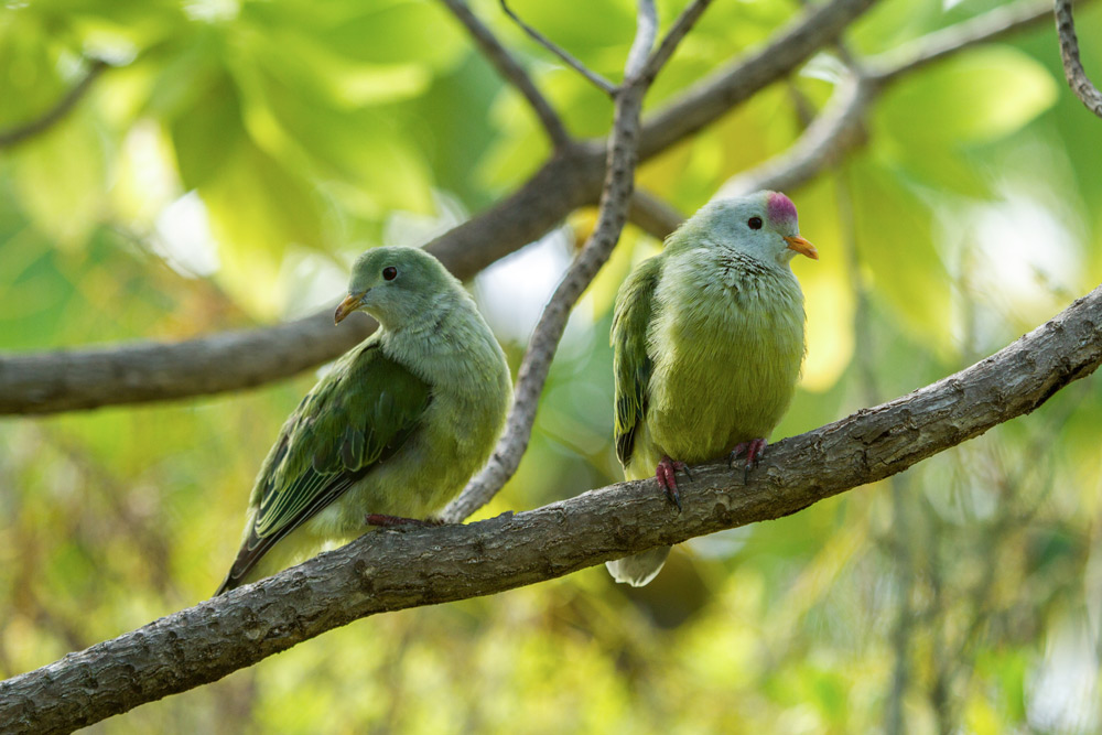 Island Conservation Atoll Fruit-dove