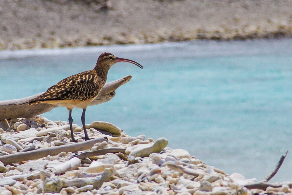 Island Conservation Bristle-thighed Curlew