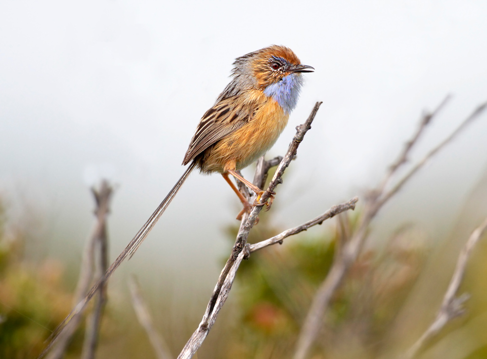 island conservation emu wren credit colin cock
