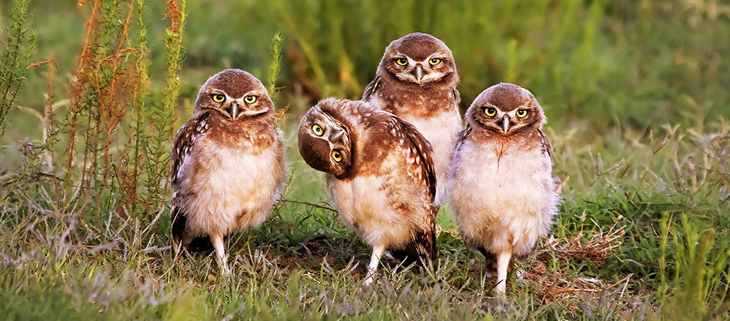 island conservation owl family portrait