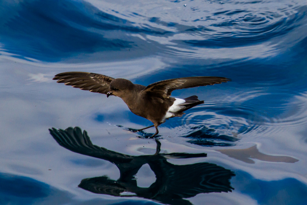Island Conservation White-Vented Storm Petrel