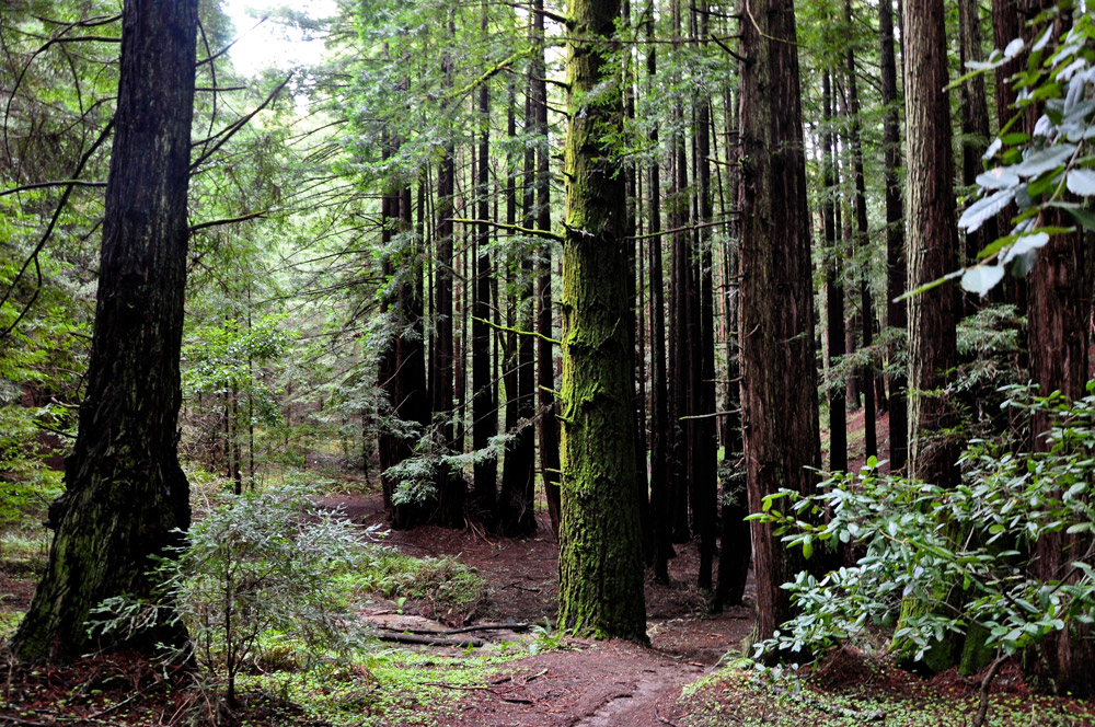 Island Conservation Redwoods at UCSC