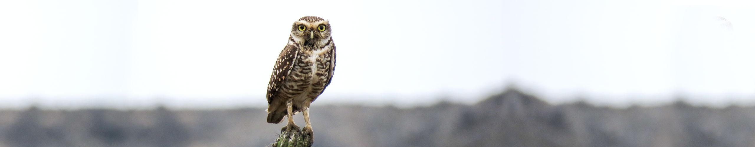 slider-background-chile-burrowing-owl-2