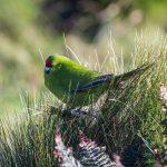 island conservation antipodes parakeet
