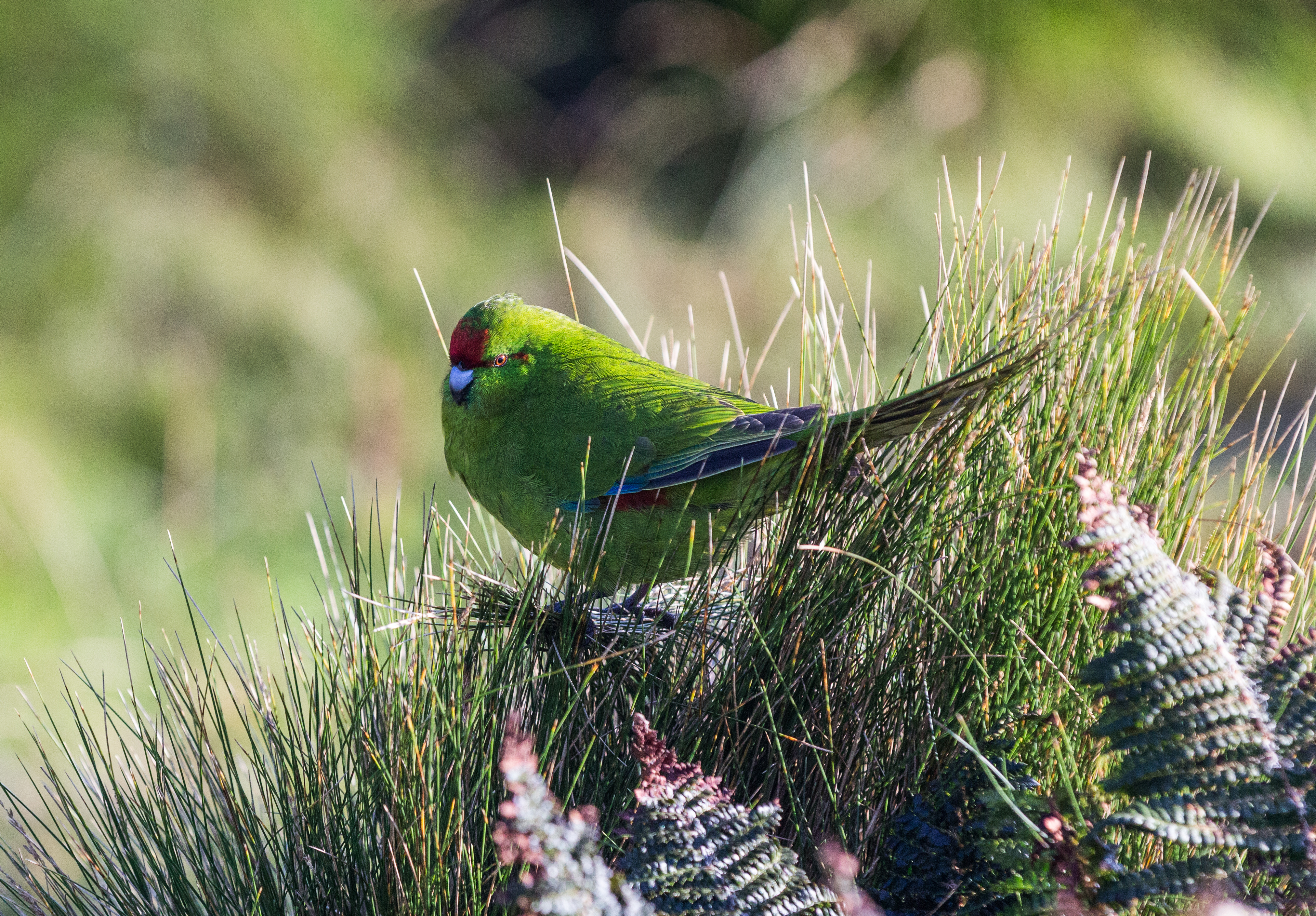 island-conservation-preventing-extinctions-antipodes-parakeet
