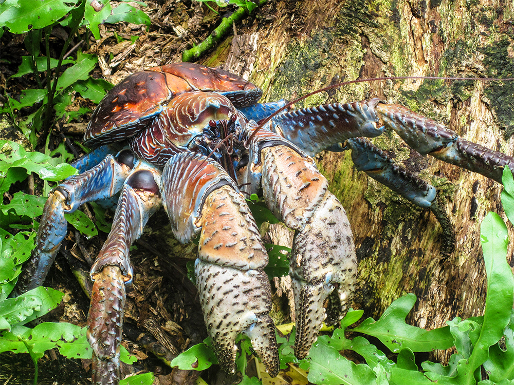 island-conservation-preventing-extinctions-coconut-crab