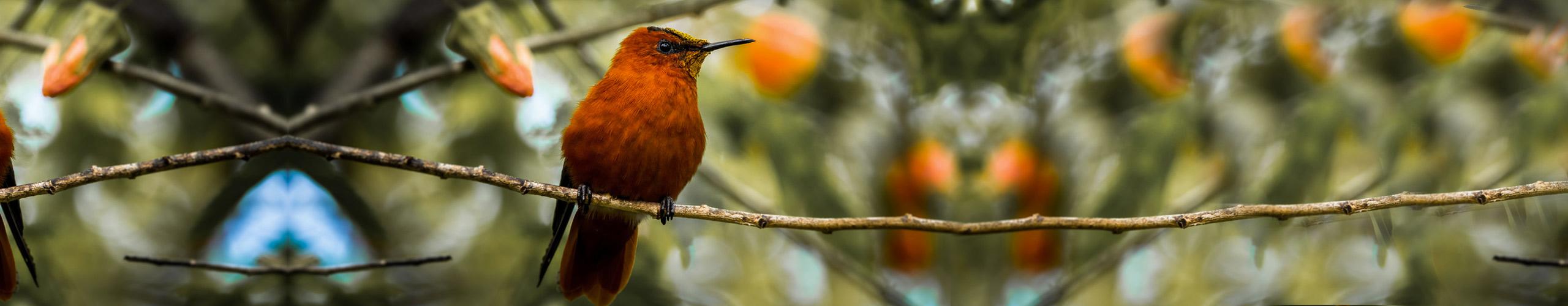 Juan fernandez firecrown island conservation chile preventing extinctions