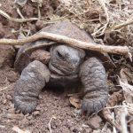 island conservation pinzon tortoise hatchling