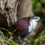 island conservation tutururu