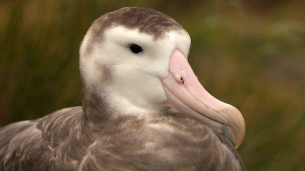 island conservation tristan albatross gough island