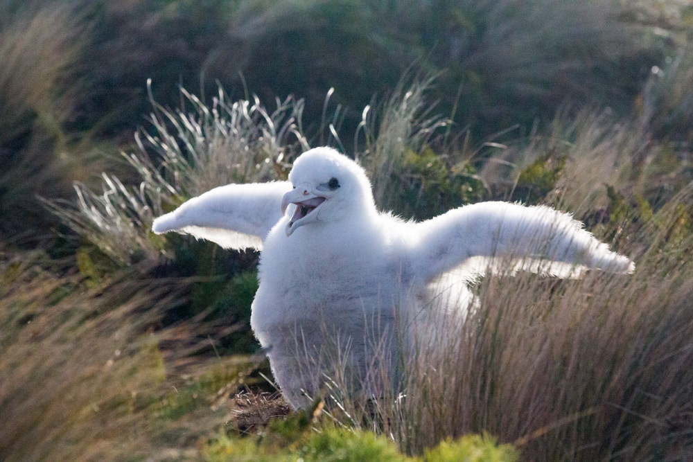 island conservation antipodes albatross chick