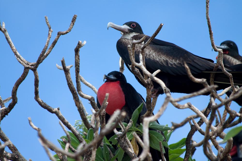 island conservation frigatebirds in branches