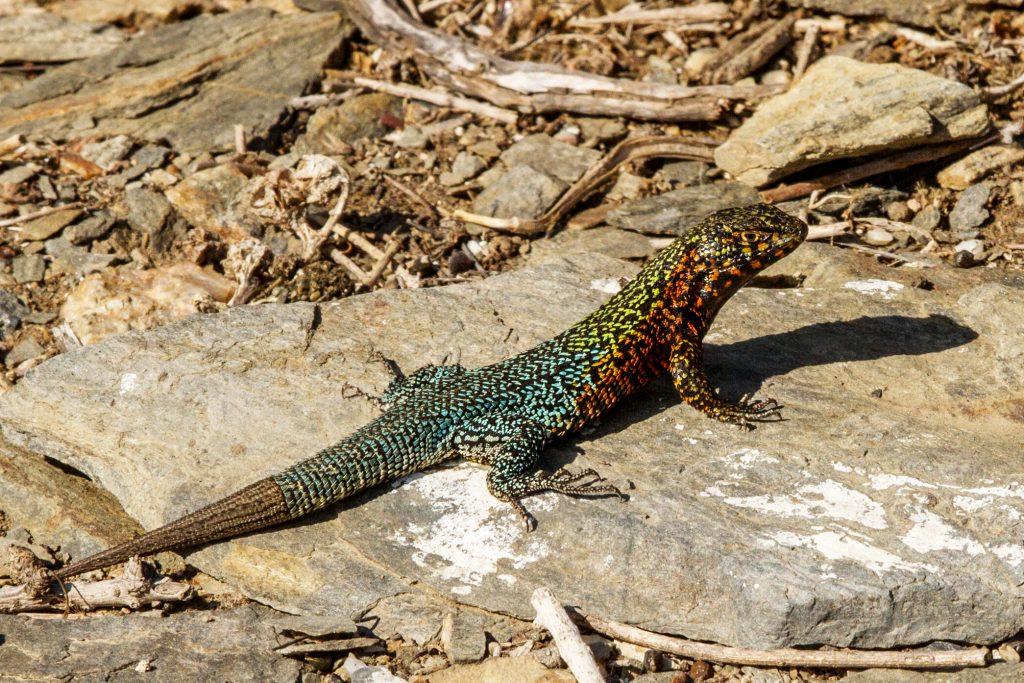 island conservation choros lizard