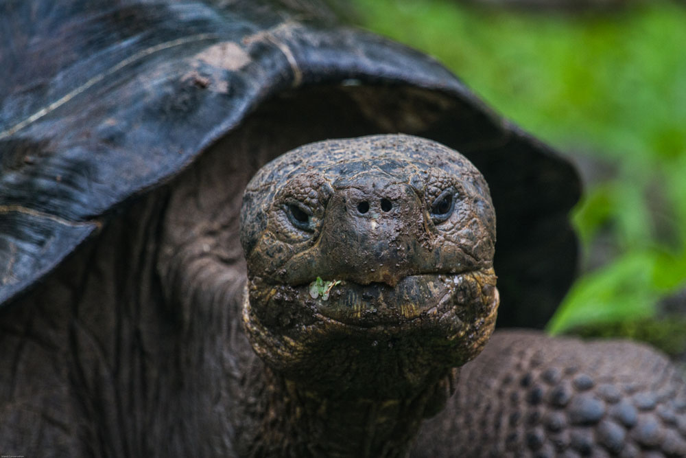 island-conservation-floreana-tortoise